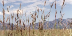 Xeric Tallgrasses against the mountain backdrop of the Rocky Flats National Wildlife Refuge. photo credit: RFETS